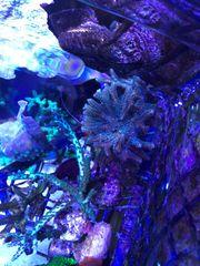 Meerwasser Korallenableger SPS Steinkorallen