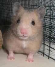 Kleines Hamstermädchen in liebevolle Hände