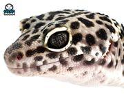 Leopardgecko Mack Snow Black Night
