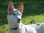 SNOWY, Husky Mischling -