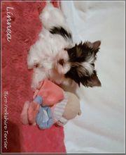 kleiner Yorkshire Terrier Welpen-verschiendene Farbgebungen