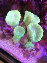 Flötenkoralle Meerwasser