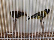 Magelanzeisig Paar Prachtfinken Exoten