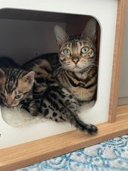 Bengal Katzen Babys
