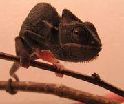 PIEBALD Jemen Chamäleon Weibchen vom