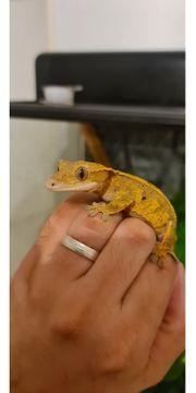 kronengeckos inkl terrarium