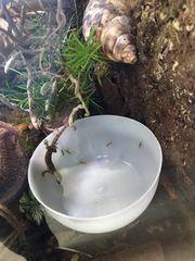 Zeitweise Geckos Jungferngecko Lepidodactylus lugubris