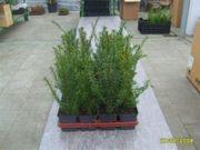 25 Taxus baccata Heimische-Eibe T