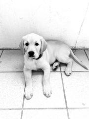 Labrador welpe mit Ahnentafel Reinrassige