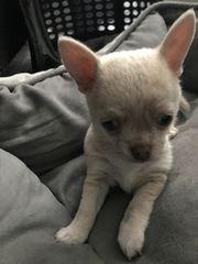 Chihuahua Rüde Golden Angel reinrassig