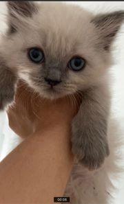 BLH BKH kitten Junge langhaar