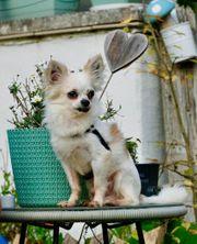 Timmy langhaar Chihuahua Rüde