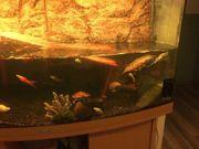 Juwel Aquarium Panorama mit Besatz