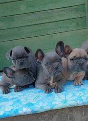 Vier Französische Bulldoggen