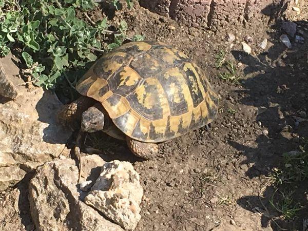 SUCHE Großes, altes THB Weibchen 2-3 kg