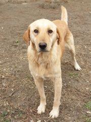 Tierschutz Labrador-Mix Güz sucht ein