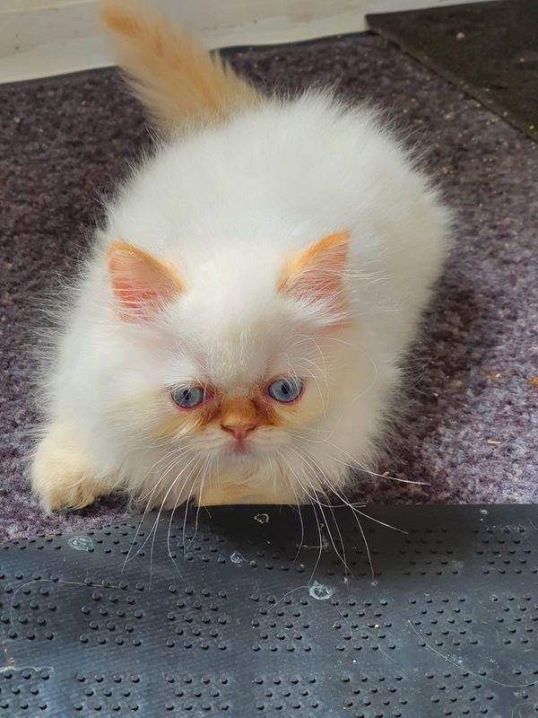 persischer katzen 2 Mädchen und