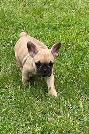 Französische Bulldogge Welpen nur noch