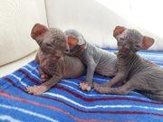 Sphinx Kitten mit Stammbaum