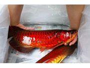 Chilli Red Arowana Fishes zu