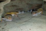Leopardgecko Nachwuchs Gecko