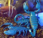 Thaiskorpion groß Heterometrus spinifer Skorpion