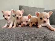 Bildschöne Chihuahua Welpen
