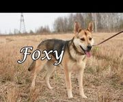 Ruhige und verspielte Hünding Foxy