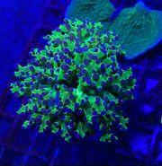 Euphyllia paraancora Hammerkoralle Lps Korallen