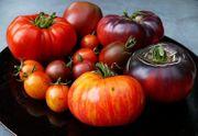 Starke Tomatenpflanzen von vielen seltenen
