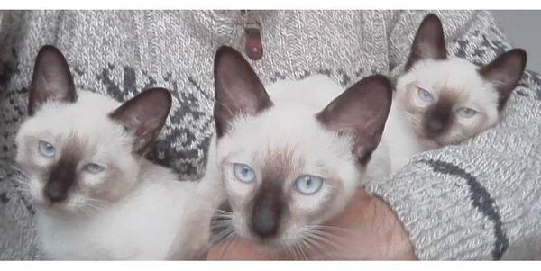 Reinrassige Siam Katzen Babys Kitten ab Sofort abholen