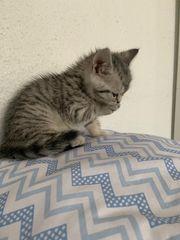 BKH Black silver tappy Kitten