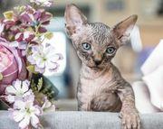 canad Sphynx Kitten Kater