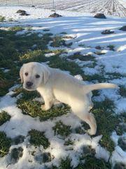 Labrador Welpe Schnee weiß