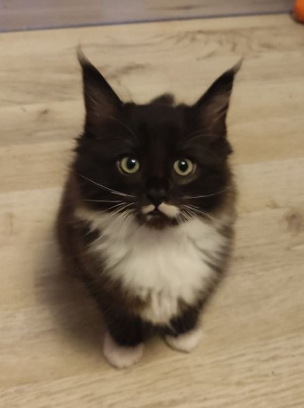 Babykatzen Ragdoll/Maine Coon Mix
