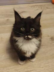 Babykatzen Ragdoll Maine Coon Mix