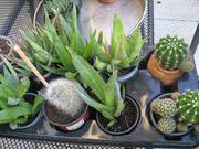 Verschiedene Kakteen Aloe