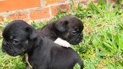 französische bulldoggen Mädchen und junge