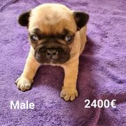 Französische Bulldogge welpen
