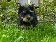 Reinrassige Yorkshire Terrier Welpen