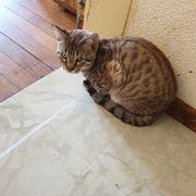Burma Siam Bengal Kitten