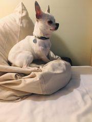 Mini Chihuahua Rüde 8 Monate