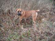 Welpen Boerboel Wachhunde Schutzhunde