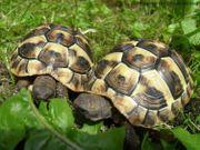 Griechische Landschildkröten mit