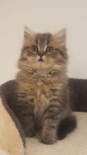 Kätzchen Sibirische Waldkatze