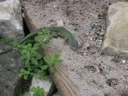 Smaragdeidechse / Lacerta Viridis