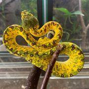 Morelia viridis Biak Weibchen grüner