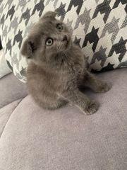 bkh Kitten reinrassig blau