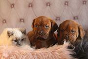 Bordeauxdoggen kräftige farbstarke kinderliebe Familienhunde