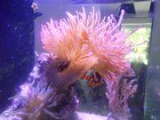 Kuperanemone mit Clownfischpaar